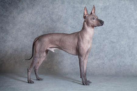 Mexican xoloitzcuintle male dog against grey background. Eighteen months old Standard-Bild