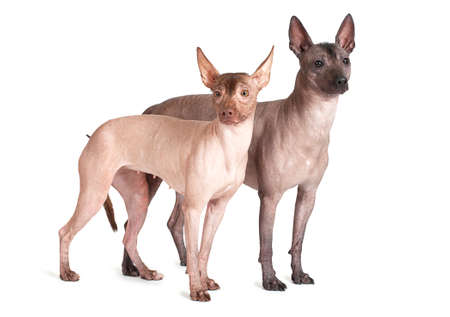 cute dogs: Two Mexican xoloitzcuintle dogs isolated on white