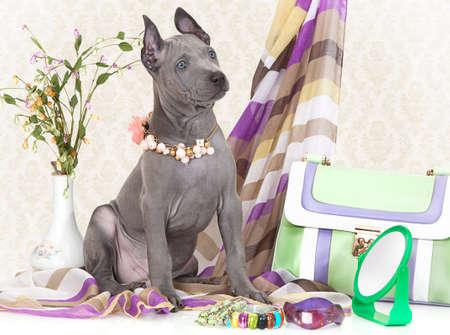 puta: Ridgeback cachorro tailandés con accesorios femeninos. Dos meses de edad Foto de archivo