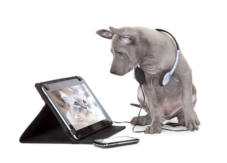 computer isolated: Thai ridgeback puppy looking at the cat photo on digital tablet computer