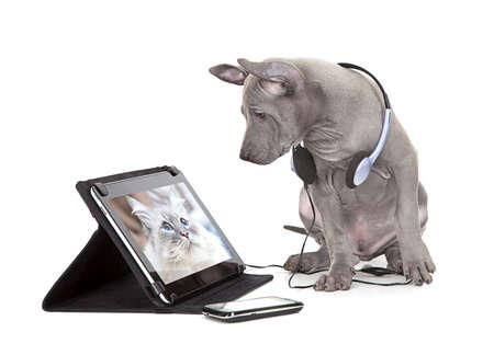 Thai Ridgeback puppy te kijken naar de kat foto op digitale tablet computer Stockfoto
