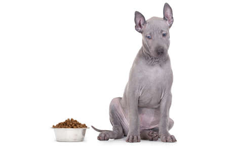 kibble: ridgeback puppy staring at a bowl of kibble dog food against a white background