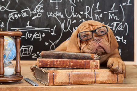 dogue de bordeaux: Dogue de Bordeaux Puppy  lying on Pile of Books