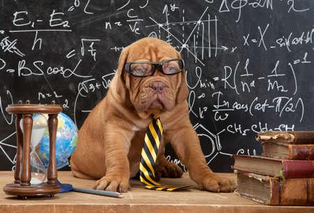 Jonge schattige hond voor bord tijdens een klasse math. Bordeauxdog puppy (Franse mastiff). Stockfoto