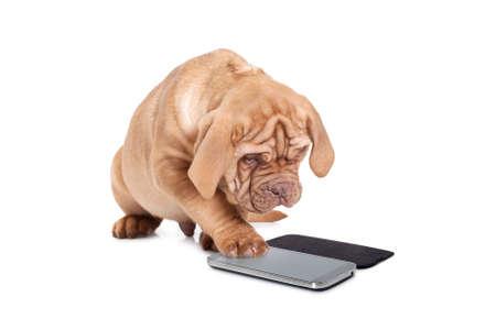 Puppy van Dogue de Bordeaux (Franse mastiff) interageren met mobiele telefoon Stockfoto