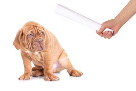 Puppy of Dogue de Bordeaux (French mastiff) learning good behavior  photo