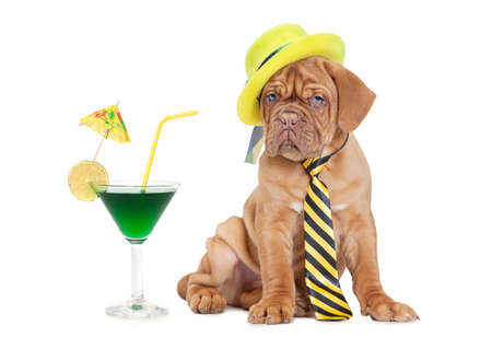 Nine months old French Mastiff puppy with cocktail  photo