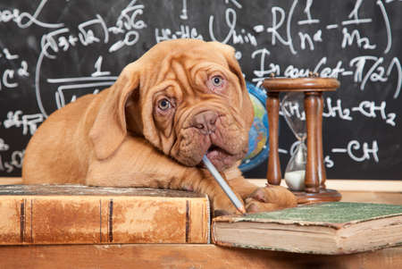 learned: Puppy of French Mastiff breed chewing a pencil in front of blackboard