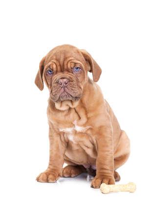 nine months: Nine months old French Mastiff puppy with dog bone