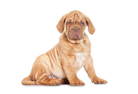 nine months: Nine months old French Mastiff puppy. Sitting in front of white background