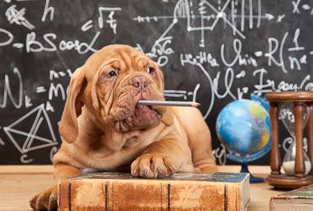 Mastiff chiot français mâcher un crayon en face de tableau noir Banque d'images - 28388040