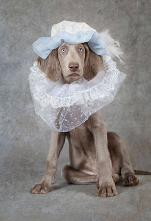 liege: Humorous image of a Weimaraner dog wearing a hat, looking like a liege lord