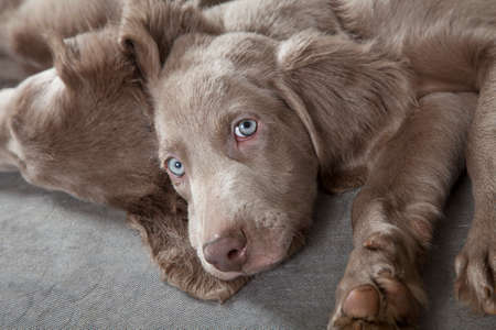 three months old: Three months old Weimaraner puppy looking at the camera with sleepy eyes  Stock Photo