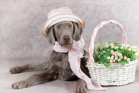 pointer dog: Humorous image of a Wirehaired Slovakian pointer dog wearing a hat  Stock Photo
