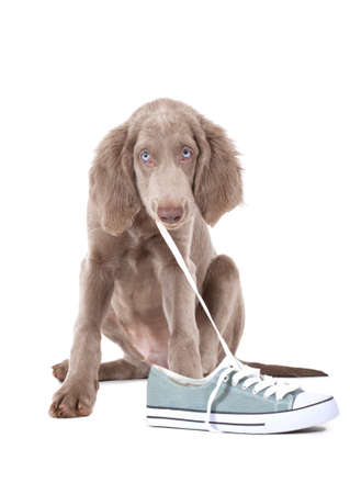 Weimaraner puppy of 3 months old pulling the lace of a shoe Standard-Bild