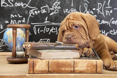 dogue de bordeaux: Puppy of Dogue de Bordeaux (French mastiff) lying on pile of books
