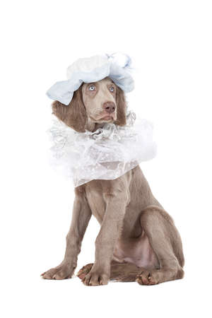 liege: Longhaired Weimaraner puppy wearing a hat, looking like a liege lord