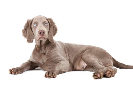 three months old: Weimaraner puppy, three months old, lying. Isolated on white  Stock Photo