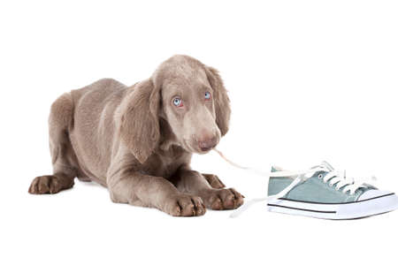 Three months old Weimaraner puppy chewing the lace of a shoe and looking at the camera with shy blue eyes