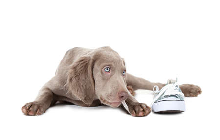 three months old: Three months old Weimaraner puppy chewing the lace of a shoe, isolated on white