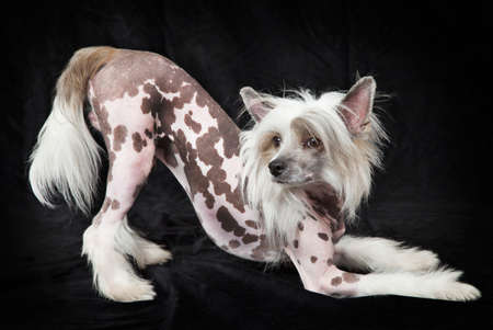 shaggy: Hairless Chinese Crested dog, 1,5 years old, standing in front of black background, studio shot