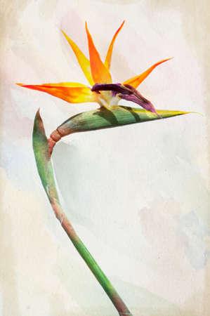 ave del paraiso: Ilustración de la acuarela Strelitzia - flor exótica llamada ave del paraíso de flores sobre un fondo de la vendimia