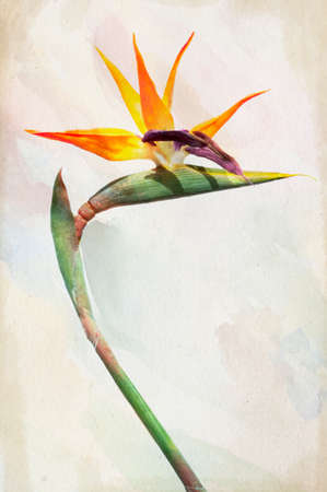 Illustration of watercolor Strelitzia - exotic flower called bird of paradise flower on a vintage background  Stock Photo