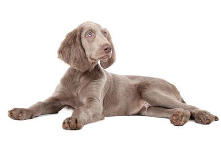 three months old: Weimaraner puppy isolated on white. Three months old