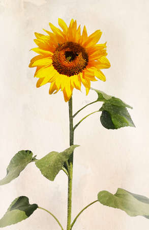 Beautiful sunflower. Artistic watercolor painting style with texture  photo