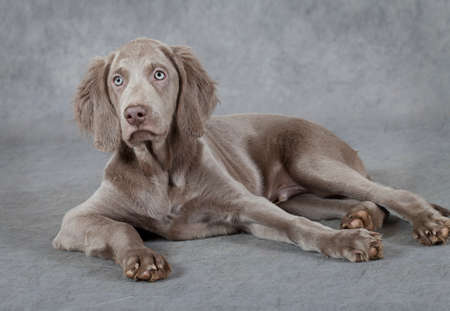 three months old: Portrait of Weimaraner puppy, three months old, lying in front of grey background   Stock Photo