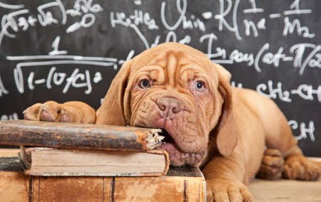Puppy of Dogue de Bordeaux (French mastiff) chewing a book Imagens - 31075450