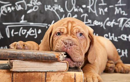 Puppy van Dogue de Bordeaux (Franse mastiff) kauwen een boek