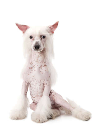 shaggy: Hairless Chinese Crested dog sitting in front of white background