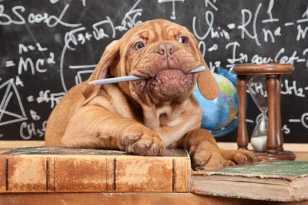 Cachorro mastín francés masticar un lápiz delante de la pizarra