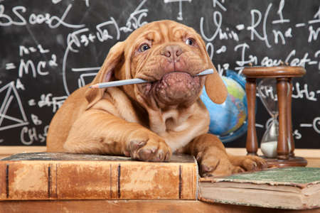 learned: French Mastiff puppy chewing a pencil in front of blackboard