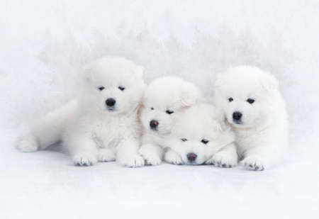 Portrait of one month old Samoyed puppies photo