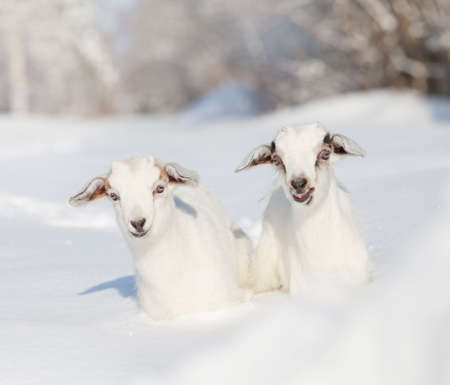 sunny cold days: Portrait of two white baby goats in winter Stock Photo