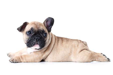 dogo: Pequeño cachorro bulldog francés lindo que miente en el fondo blanco y mira hacia arriba a algo Foto de archivo