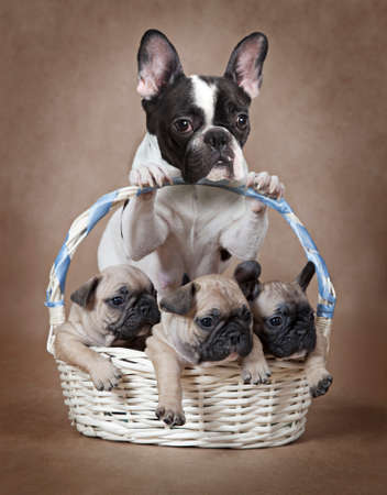 pure breed: Pure breed French bulldog mommy with puppies in the basket