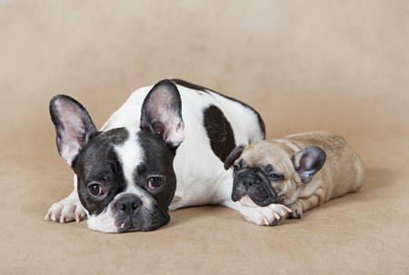 french bulldog: Pure breed French bulldog mommy with puppy lying on a beige background