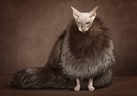Don Sphinx cat dressed with coat backed with fur Stock Photo