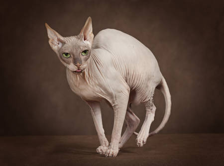 gracious: Studio shot of the cat of Don Sphinx breed Stock Photo