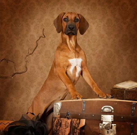 ridgeback: Studio shot of a four months old Rhodesian Ridgeback puppy