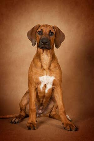 ridgeback: Rhodesian Ridgeback dog sitting in front of brown background Stock Photo