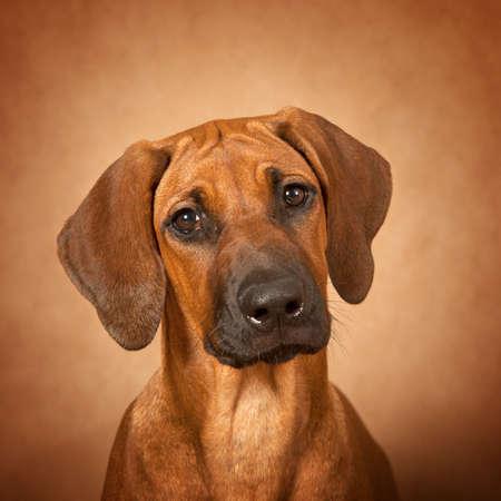 rhodesian: Portrait of Rhodesian Ridgeback dog over brown background