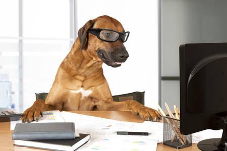 オフィス マネージャーとしてコンピューターの前に机に座ってローデシアン ・ リッジバック犬