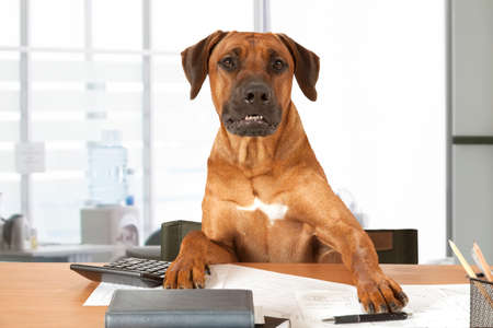 Rhodesian Ridgeback dog sits at a desk as Big Boss