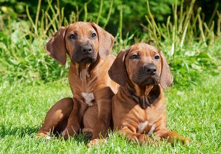 rhodesian: Two Rhodesian Ridgeback puppies lying on the grass