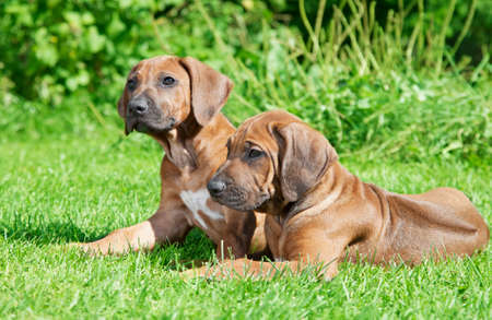 short haired: Short haired Rhodesian Ridgeback puppies lying on the grass Stock Photo