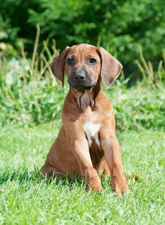 pure breed: Pure breed Rhodesian Ridgeback puppy dog sitting on the grass Stock Photo